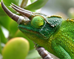"""Dragon Sam"" one of many Jackson's Chameleons on Big Island, Hawaii."