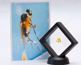 1 stone Natural Baltic amber with 2 inclusions Diptera (fly) insects in a f