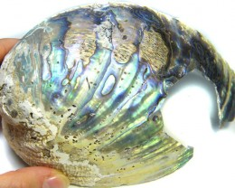 PAUA /ABALONE  MOTHER PEARL SHELL 147   GRAMS  AG 1581