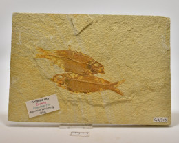 FOSSIL FISH, KNIGHTIA ALTA, USA ( GR313)