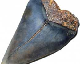 38.75 CTS  MEGALDON SHARK TOOTH FOSSIL  [MGW5669]