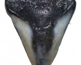 32.41 CTS  MEGALDON SHARK TOOTH FOSSIL  [MGW5670]