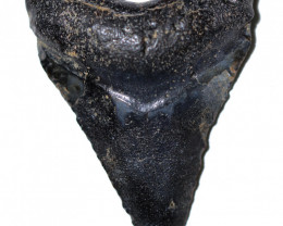 59.16 CTS  MEGALDON SHARK TOOTH FOSSIL  [MGW5676]