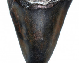 127.31 CTS  MEGALDON SHARK TOOTH FOSSIL  [MGW5681]