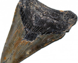 98.16 CTS  MEGALDON SHARK TOOTH FOSSIL  [MGW5683]