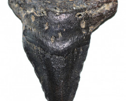 82.56 CTS  MEGALDON SHARK TOOTH FOSSIL  [MGW5684]