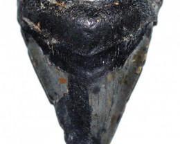 107.33 CTS  MEGALDON SHARK TOOTH FOSSIL  [MGW5687]