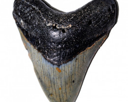 424.00 CTS  MEGALDON SHARK TOOTH FOSSIL  [MGW5692]