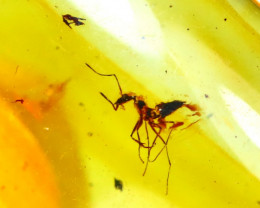 Baltic Amber 9.38Ct Natural Poland Fossil Insect inside Amber DR178/D5