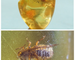 1 stone Natural Baltic amber with inclusion Diptera (fly) insect