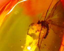 Baltic Amber 0.75Ct Natural Poland Fossil Insect inside Amber E1010/D1