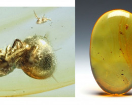 22.64 ct - Dominican Amber with natural fossil inclusion - Spider