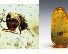 Baltic Amber with natural fossil inclusion - Aculeata, Formicidae - Ant