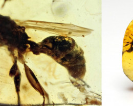 Fossil Wasp in Burmese Amber - natural fossil inclusion