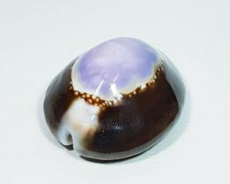 40.30 ct Natural Pacific Sea Shell Gemstone