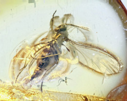 2.55 ct - Fossil Midge Insect inclusion in Baltic Amber