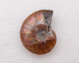 P0244 - 27 Cts Rare And High Quality Natural Ammonite , Ammonite
