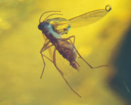 17 g. Natural Baltic amber inclusion insect Fly (Diptera)