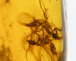 15.39 ct - Dominican Amber with pair of fossil wasps