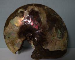 "13""  15Lbs complete Jurassic Ammolite full spectrum red blazer specimen"