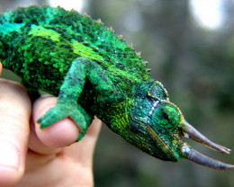 """""""Dragon Sam""""   Sam is a Jackson's Chameleon.   Sam catches insects with a long sticky tongue."""