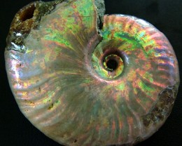 IRRIDESENT AMMONITE  FROM MADAGASCAR  164.00 CTS [MX 6531]