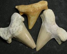 SHARK TEETH FOSSIL PARCEL  -OTODUS-MOROCCO 130 CTS [MX7151 ]