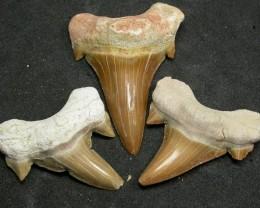 SHARK TEETH FOSSIL PARCEL  -OTODUS-MOROCCO 120 CTS [MX7156 ]