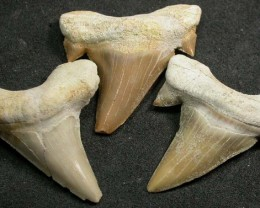 SHARK TEETH FOSSIL PARCEL  -OTODUS-MOROCCO 115 CTS [MX7162 ]
