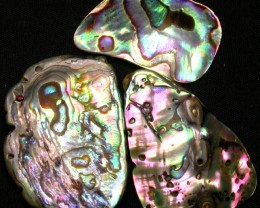 AUSTRALIAN ABALONE SHELL  PARCEL 33.85 CTS [PF 1302]
