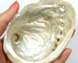 BROOME MOTHER OF PEARL ABALONE SHELL 232  CTS  AAA1755