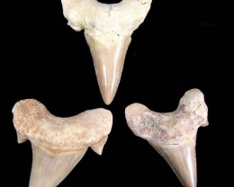 PARCEL THREE FOSSIL SHARK TEETH MYG 1280