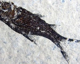 LYCOPTERA-- FISH FROM 150 MILLION YEARS AGO 26 GMS{FL5}
