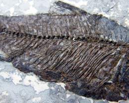 THE FISH FROM MILLIONS YEARS AGO  60 CTS [JF8]