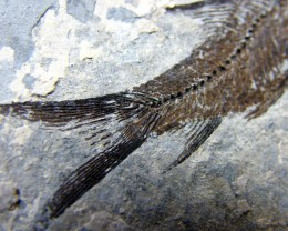 LYCOPTERA-- FISH FROM 150 MILLION YEARS AGO 22 GMS{FL11}