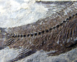 LYCOPTERA-- FISH FROM 150 MILLION YEARS AGO 18 GMS{FL12}