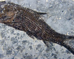 LYCOPTERA-- FISH FROM 150 MILLION YEARS AGO 31 GMS{FL17}