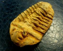 Calymene Trilobites