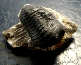 179 CTS CALYMENE TRILOBITE ON BEDROCK  RT2290