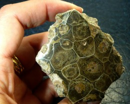 NR$1 FOSSIL AUCTION 389CTS Fossil Coral, Hexagonia,Devonian age, Morocco RT