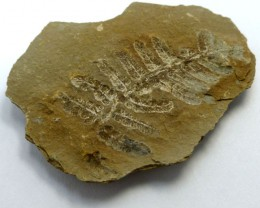 107 CTS USA FERN FOSSIL 300 MILLION YRS OLD MS 473