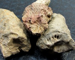 119  CTS ZAPHRENTOIDES  HORN CORAL 350 MILLION YRS OLD MS962