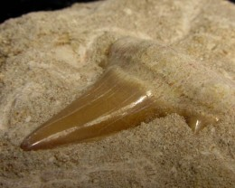 2147 CTS MOROCCAN SHARK TOOTH SPECIMEN MGYS 230