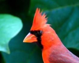 Hawaiian Cardinal.