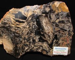 Fossil Stromatolite, Cambrian. N.T. Australia (GR03)