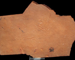 Rare Horodyskia Fossil Specimen 1.4 B.Y.O.  Australia (GR10)