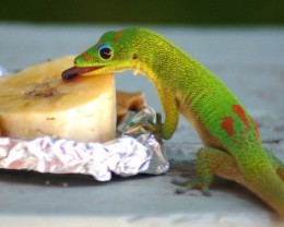 Gemstar items are tested and guaranteed.  (Photo of Gecko licking banana at our Gecko feeder.)