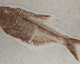 Diplomystus dentatus fish fossil, Eocene, USA (GR42)