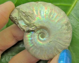 181.5CTS  IRRIDESCENT  MADAGASCAR  AMMONITE  GG1307
