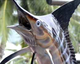 Everlasting Gems are tested and guaranteed. (Bronze sailfish on display in town.  Kailua Kona hosts the International Billfish tournament.)